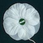 White poppy big
